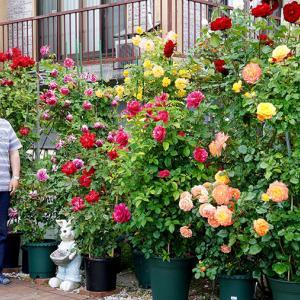 ご主人がはまった魅惑のバラ♪末広Mさん*おらが街の素敵なお庭2021(旭川市)