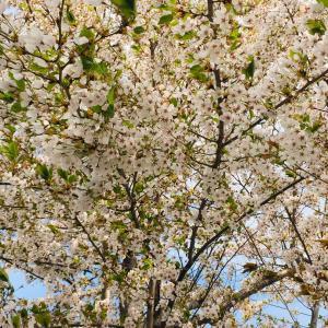 ◆散ってなお美しい桜☆外の風景は例年と同じ春