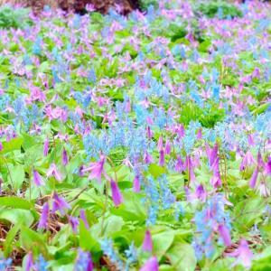 ◆スプリング エフェメラル(春の妖精)を探しに☆エゾエンゴサクとカタクリの群生