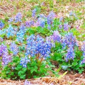 ◆妖精たちの秘密の花園へ☆エゾエンゴサクのブルーを求めて(札幌市南区編)