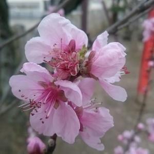 みなさんの心に……桃色がきますように……