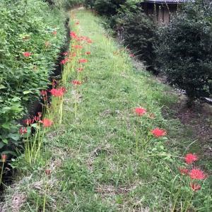 日本の秋 朱赤のヒガンバナの季節 自然の鮮やかな配色