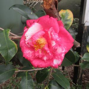 閉館も何時もと同じ椿咲きphoto五・七・五「調」