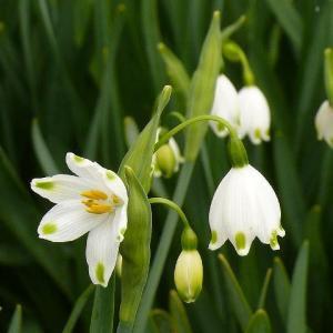 気を晴らす鈴蘭水仙花開きphoto五・七・五「調」