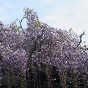 恐怖のコロナ気にせぬ藤の花photo五・七・五「調」