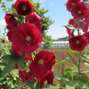 立アオイ日毎に増える花の数photo五・七・五「調」