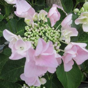 雨を呼ぶ庭の紫陽花咲き始めphoto五・七・五「調」