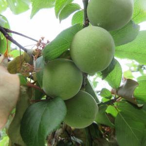 梅の実の見る度色づく時季となりphoto五・七・五「調」