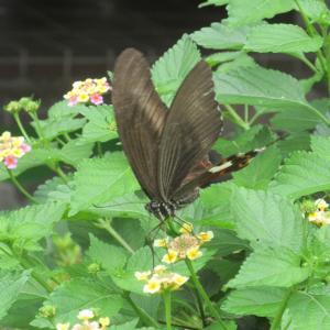 今日もまたランタナお宅揚羽蝶photo五・七・五「調」