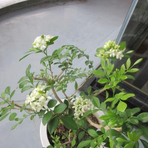 ジャスミン枯れ木に花と三度咲きphoto五・七・五「調」