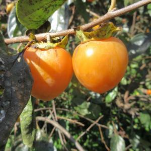 辛夷の実柿の色づき秋を知りphoto五・七・五「調」