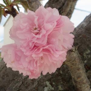 八重桜お祝届く誕生日photo五・七・五「調」