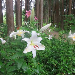 コロナ禍も山百合咲いた夏の山photo五・七・五「調」