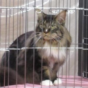 CFA JAPAN REGIONAL CAT SHOW 2