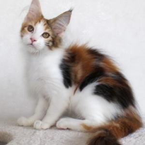 三毛猫の美猫ミニョン ♥♥~♥