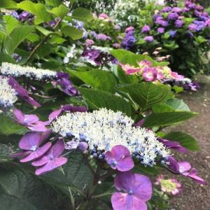 紫陽花は雨の日が似合う