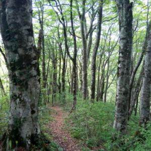 規模・美しさ共に県下一のブナ林かも:  笠杖山その2