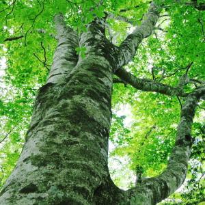 規模・美しさ共に県下一のブナ林かも:  笠杖山その3