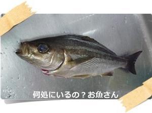 イサキ大漁。ワームでも釣れた。