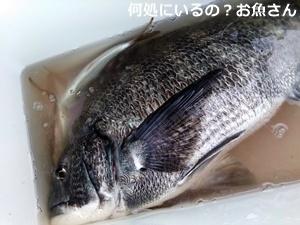 アジ釣りにて巨大魚と遭遇(後編)