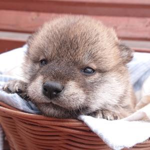 子犬の顔アップ写真