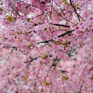 京都 一条戻橋の河津桜♪