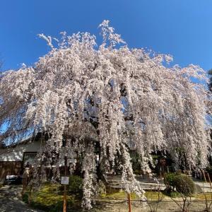 2020 京都の桜♪本満寺の枝垂れ桜と御朱印