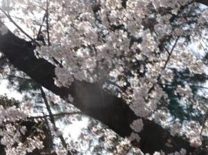 桜2020(王子~石神井川~赤羽)