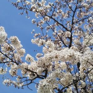 「桜を見に行く」