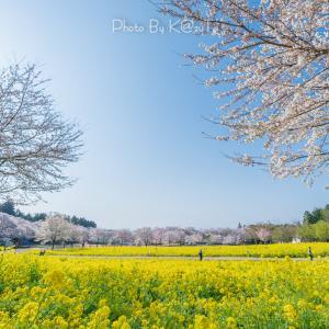 ドローン空撮 群馬県前橋市 サクラと菜の花が美しい赤城南面千本桜並木