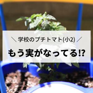 【学校のプチトマト栽培】え…!?もう実がなってる…!?ちょっと早過ぎる気が…