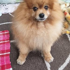 【犬の体験談】ポメラニアン♂10歳階段で転んで歩けないのが翌日パッチで元気に散歩できるように!