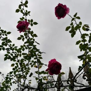薔薇の剪定と家具探し❤