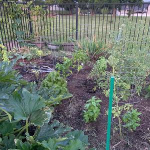 家庭菜園   2020年6月