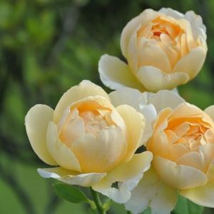 残暑のバラの様子