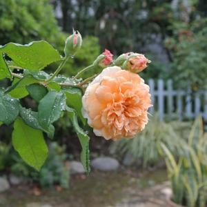 イーストガーデンのバラ 日焼けと虫刺されに注意