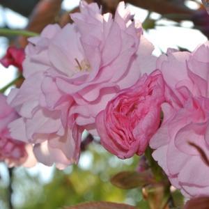 ボタン桜開花 ガマズミ シロヤマブキとヤマブキの違い