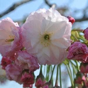 八重桜「松月」も開花 紫小花達 新しい花壇づくり