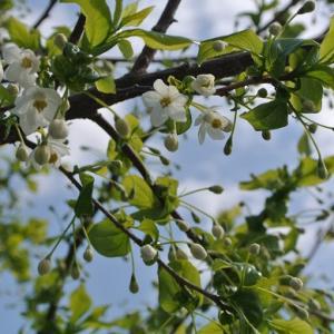 エゴノキ開花 牡丹やシャクナゲなど咲き進む