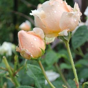 アプリコット色のバラ 雨に似合う花は・・