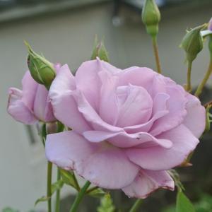 まだ1番花 紫色のバラなど つるバラ剪定2 石垣の上は次の球根植物たち