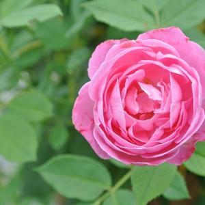 二番花バラ ラレーヌ・ビクトリアなど ミニカラー
