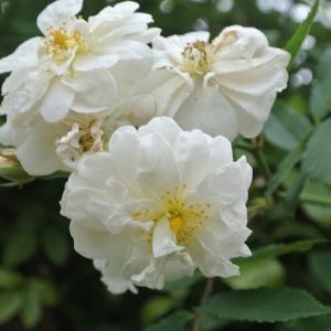 スノーグース&プロスペリティなど白い花