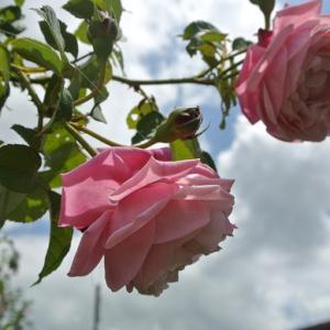 梅雨明けしたバラ達