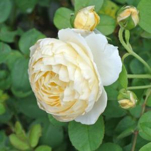 バラ3番花 シャーロット・オースチンなど