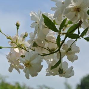 スノーグース&夏の花フロックス