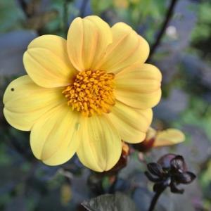 お墓洗い ミッドナイトムーン&ローズガーデンのバラ達