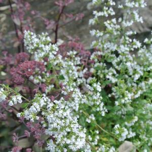カラミンサ&ゼノックス やっと咲いたリョウブ