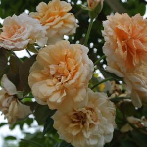 咲い続ける四季咲きつるバラ&ほったらかしの多肉ちゃん