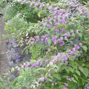 色濃い小紫式部&バラも